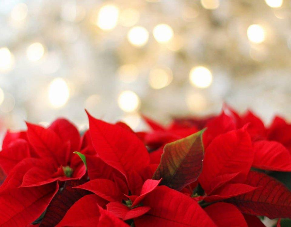 cuales son las flores tipicas de navidad
